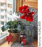Купить «Зимнее оформление окна с гиппеаструмом и цикламеном», фото № 4042805, снято 11 ноября 2012 г. (c) Олеся Сарычева / Фотобанк Лори