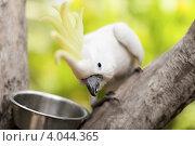 Любопытный белый попугай смотрит, фото № 4044365, снято 10 ноября 2008 г. (c) Эдуард Паравян / Фотобанк Лори