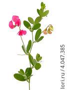 Купить «Душистый горошек (Lathyrus odoratus)», фото № 4047385, снято 20 июля 2012 г. (c) Татьяна Волгутова / Фотобанк Лори