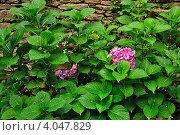Куст Гортензии на фоне каменной стены. Стоковое фото, фотограф Екатерина Рыжова / Фотобанк Лори