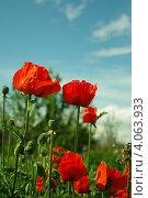 Красные маки на фоне голубого неба. Стоковое фото, фотограф Ольга Старшова / Фотобанк Лори
