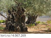 Купить «Гефсиманский сад на Елеонской горе», фото № 4067269, снято 29 июля 2009 г. (c) Владимир Блинов / Фотобанк Лори