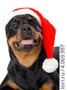Ротвейлер в шапочке Санта Клауса, белый фон. Стоковое фото, фотограф Александр Тесевич / Фотобанк Лори