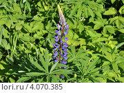 Купить «Люпин многолистный (лат. Lupinus polyphyllus)», эксклюзивное фото № 4070385, снято 20 июня 2012 г. (c) lana1501 / Фотобанк Лори