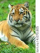 Амурский тигр, фото № 4070805, снято 14 октября 2012 г. (c) Эдуард Кислинский / Фотобанк Лори