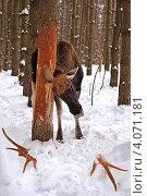 Купить «Сбросивший рога лось чешет голову о дерево», фото № 4071181, снято 6 февраля 2010 г. (c) Эдуард Кислинский / Фотобанк Лори