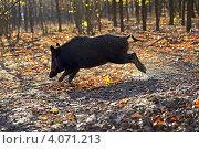 Дикий кабан мчится по лесу. Стоковое фото, фотограф Эдуард Кислинский / Фотобанк Лори