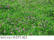 Клевер луговой (Trifolium pratense) Стоковое фото, фотограф Елена Коромыслова / Фотобанк Лори