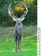 Олень на опушке леса. Стоковое фото, фотограф Эдуард Кислинский / Фотобанк Лори