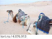 Два верблюда для катания в упряжке отдыхают на песке, Сахара, Douz, Tunisia (2012 год). Стоковое фото, фотограф Кекяляйнен Андрей / Фотобанк Лори