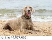 Купить «Собака лежит на пляже», фото № 4077665, снято 29 июля 2011 г. (c) Tatjana Baibakova / Фотобанк Лори