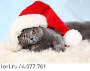 Купить «Красивый британский кот и новогодний колпак», фото № 4077761, снято 3 декабря 2012 г. (c) Останина Екатерина / Фотобанк Лори
