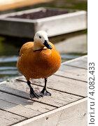 Рыжая утка вышла из воды. Стоковое фото, фотограф Анастасия Ехлакова / Фотобанк Лори