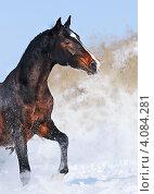 Молодая лошадь скачет в снежном поле. Стоковое фото, фотограф Титаренко Елена / Фотобанк Лори
