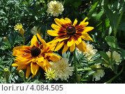 Купить «Рудбекия (Rudbeckiа)», эксклюзивное фото № 4084505, снято 29 июля 2012 г. (c) lana1501 / Фотобанк Лори