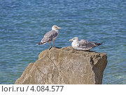 Купить «Две черноморские чайки на прибрежном камне на фоне моря», фото № 4084577, снято 2 сентября 2012 г. (c) Владимир Сергеев / Фотобанк Лори
