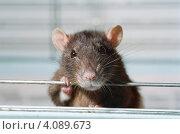 Купить «Крыса в клетке», фото № 4089673, снято 26 июня 2019 г. (c) Роман Прохоров / Фотобанк Лори