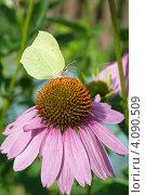 Купить «Бабочка лимонница (Gonepteryx rhamni) собирает нектар на цветке эхинацеи пурпурной (Echinacea purpurea)», эксклюзивное фото № 4090509, снято 27 июля 2012 г. (c) Елена Коромыслова / Фотобанк Лори