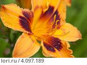 Купить «Желтая лилия в каплях воды», фото № 4097189, снято 5 августа 2012 г. (c) Наталья Волкова / Фотобанк Лори