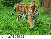 Купить «Амурский тигр идет по зеленой траве», фото № 4098521, снято 16 сентября 2012 г. (c) Эдуард Кислинский / Фотобанк Лори
