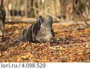Дикий кабан лежит на осенних листьях. Стоковое фото, фотограф Эдуард Кислинский / Фотобанк Лори