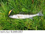 Купить «Пойманный судак на воблер лежит на траве», эксклюзивное фото № 4099097, снято 2 октября 2012 г. (c) Игорь Низов / Фотобанк Лори