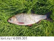 Купить «Пойманный крупный язь лежит на траве», эксклюзивное фото № 4099301, снято 12 сентября 2012 г. (c) Игорь Низов / Фотобанк Лори