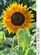 Купить «Подсолнечник (Helianthus annuus L.)», эксклюзивное фото № 4099441, снято 29 июля 2012 г. (c) lana1501 / Фотобанк Лори