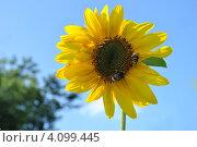 Купить «Подсолнечник (Helianthus annuus L.)», эксклюзивное фото № 4099445, снято 29 июля 2012 г. (c) lana1501 / Фотобанк Лори
