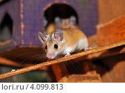 Купить «Мышь», фото № 4099813, снято 5 февраля 2009 г. (c) Эдуард Кислинский / Фотобанк Лори