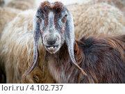 Купить «Морда барана с длинными ушами крупным планом на фоне стада», фото № 4102737, снято 5 декабря 2012 г. (c) Николай Винокуров / Фотобанк Лори