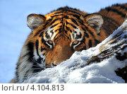 Купить «Портрет амурского тигра на снегу», фото № 4104813, снято 14 марта 2010 г. (c) Эдуард Кислинский / Фотобанк Лори