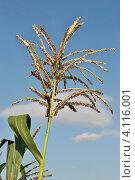 Купить «Кукуруза обыкновенная (лат. – Zea mays)», эксклюзивное фото № 4116001, снято 29 июля 2012 г. (c) lana1501 / Фотобанк Лори