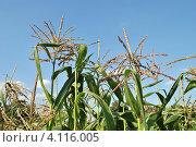Купить «Кукуруза обыкновенная (лат. – Zea mays)», эксклюзивное фото № 4116005, снято 29 июля 2012 г. (c) lana1501 / Фотобанк Лори