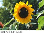 Купить «Подсолнечник (Helianthus annuus L.)», эксклюзивное фото № 4116133, снято 29 июля 2012 г. (c) lana1501 / Фотобанк Лори