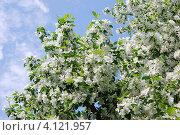 Купить «Обильно цветущая яблоня на фоне голубого неба», фото № 4121957, снято 19 января 2020 г. (c) Анна Омельченко / Фотобанк Лори