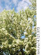 Купить «Обильно цветущая яблоня на фоне голубого неба», фото № 4121973, снято 19 января 2020 г. (c) Анна Омельченко / Фотобанк Лори
