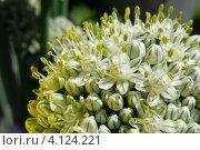 Лук-батун (Allium fistulosum) Стоковое фото, фотограф Алина Сысоева / Фотобанк Лори