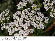Тысячелистник, цветущий белыми цветами. Стоковое фото, фотограф Ольга Старшова / Фотобанк Лори