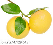 Купить «Два грейпфрута с зелеными листьями на белом фоне», фото № 4129645, снято 28 ноября 2012 г. (c) Ирина Денисова / Фотобанк Лори