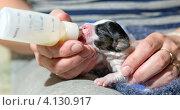 Купить «Искусственное вскармливание новорожденного щенка из бутылочки», фото № 4130917, снято 18 декабря 2012 г. (c) Сергей Лаврентьев / Фотобанк Лори