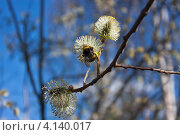 Шмель и весенние цветы ивы на фоне голубого неба. Стоковое фото, фотограф Ольга Литвинцева / Фотобанк Лори