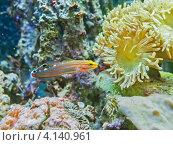 Бычок Клоун (Amblygobius rainfordi) и бородатый коралл (Duncanopsammia axifuga) в морском рифовом аквариуме. Стоковое фото, фотограф Владимир Сергеев / Фотобанк Лори