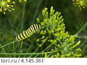 Гусеница Махаона (Papilio machaon) на зонтике укропа. Стоковое фото, фотограф Елена Коромыслова / Фотобанк Лори