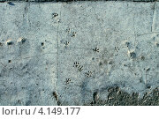 Отпечатки крысиных лап на застывшем бетоне. Стоковое фото, фотограф Андрей Сериков / Фотобанк Лори