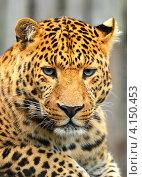 Купить «Леопард смотрит грустно», фото № 4150453, снято 14 октября 2012 г. (c) Эдуард Кислинский / Фотобанк Лори