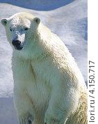 Белый медведь наклонился и присматривается. Стоковое фото, фотограф Юрий Васильев / Фотобанк Лори