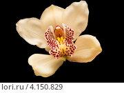 Орхидея на черном фоне. Стоковое фото, фотограф Савельев Сергей Юрьевич / Фотобанк Лори