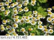 Ромашка лекарственная (Matricaria Chamomilla ) Стоковое фото, фотограф lana1501 / Фотобанк Лори