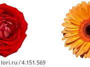 Роза и хризантема на белом фоне. Стоковое фото, фотограф Савельев Сергей Юрьевич / Фотобанк Лори